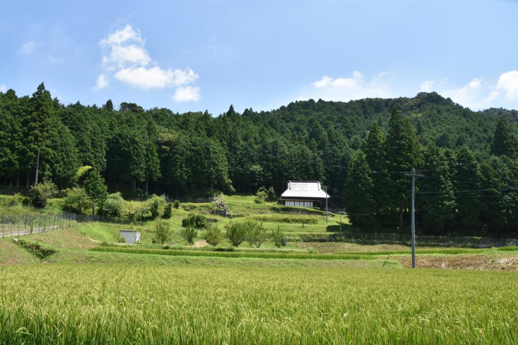 木下の田んぼ風景